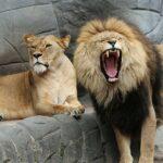 Diferența dintre o vacă și o leoaică